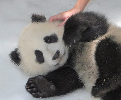 Zoomer gets a rub from her keeper (kjdrill) Tags: china california bear usa baby snow animal giant zoo cub panda sandiego bears first fv10 pandas endangeredspecies 50faves zhenzhen anawesomeshot 0336a