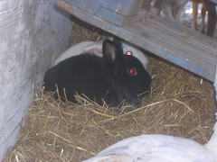 DSCN5596 (delilah84) Tags: bunnies animals guinea pig cavy rabbits animaux rodents fritz animali aku suria ronja conigli porcellino lapins cavia lagomorphs rongeurs roditori peruviano lagomorfi