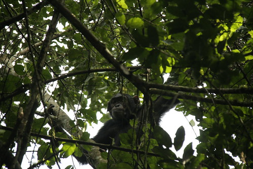 Eastern Chimpanzee in a tree - Kibale Forest NP, Uganda