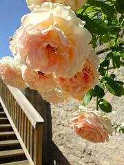 Sony Cybershot C905 - Peachy Rose - La Reole, Aquitaine, France (TempusVolat) Tags: blue roses vacation sky holiday france cute beautiful beauty rose stone wall stairs garden french interesting stair flickr pretty mr image steps picture peach step attractive getty hanging gw gareth goodlooking tempus verypretty morodo verybeautiful envacance volat mrmorodo garethwonfor tempusvolat vacancesfranais