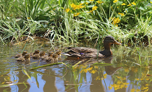 Ducklings in our pond 2