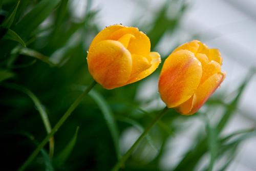 Tulip2_edited-1