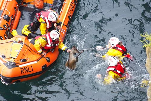 Sika Deer Rescue #3 by julian sawyer