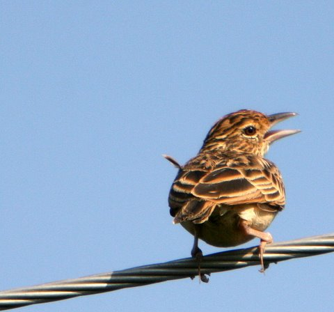 singing lark