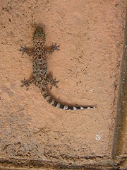 Lizard (gecko?)