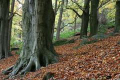 Beech, Autumn