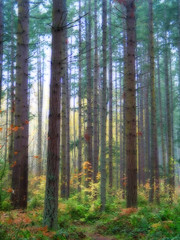 foggy morning (Abizeleth) Tags: morning autumn trees color fall fog forest photoshop washington fir shrubs orton firtrees understory packforest diamondclassphotographer photofaceoffplatinum theperfectphotographer pfogold pfoplatinum pfohiddengem yourock1st yourockunanimous