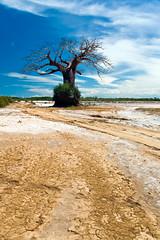 Baobab tree (Erik Kolstad) Tags: africa road sky tree nature clouds landscape tanzania view outdoor earth explore cc dirt drought creativecommons sharing cirrus baobab saadani wnstocknet