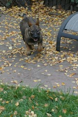Full Puppy Speed (cwgoodroe) Tags: dog color cute fall face tongue closeup ball puppy fur toy spring furry play fuzzy shepherd watching guard ears canine running run german cuddle stick chew gnaw attention playful ran trot shephard guarding k9 germanshephard observant gsd cutepuppy alet sephard germanshepherdeyes