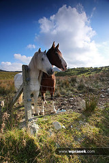 Horses beside fence in Irish countryside (wprasek) Tags: ireland horses irish animal animals rural fence landscape countryside none country beast environment ie creatures creature livestock beasts beside zoology countykerry ringofkerry equuscaballus warrenprasek folionatureanimals xoodu wprasek wwwxooducom wwwwprasekcom