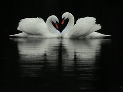 Lovers (Nicolas Valentin) Tags: bird scotland swan bravo couple loch soe castlecarry greatphotographers mywinners abigfave matchpointwinner aplusphoto avianexcellence ccctd hennysanimals