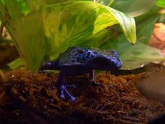frog (blucolt) Tags: blue black west animals gardens southdakota blackhills midwest reptile south frog hills poison dakota dart 2007 blucolt