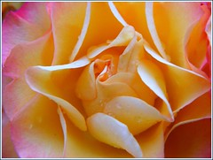 (Juleen_D) Tags: flower rose rosa blume lule abigfave trendafil juleend brillianteyejewel photofaceoffwinner pfogold