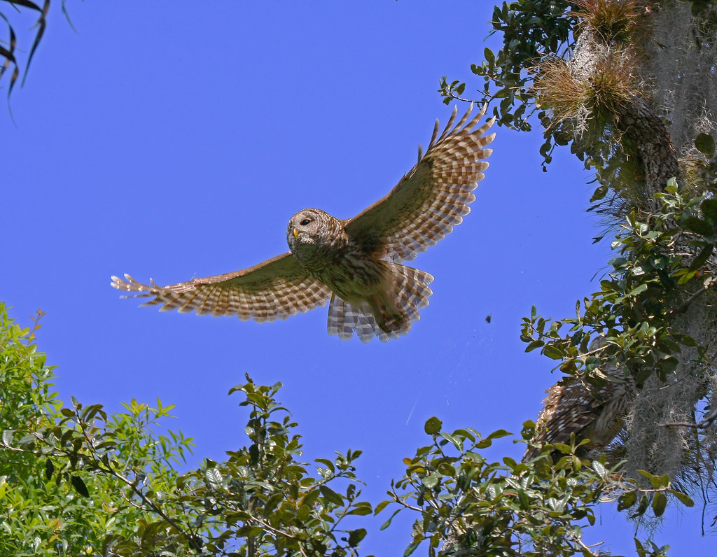 Barred Owl on the wing and one in the tree