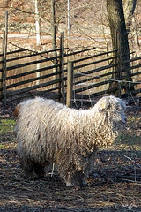 Sheep (atranswe) Tags: sheep sweden sverige fr halland falkenberg nikond40 citrit atranswe 20080214 dsc7421 vallarna