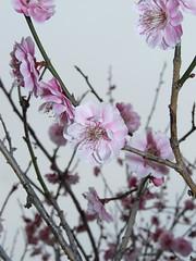 Plum Macro 15 (Kelvin Song) Tags: macro festival japan plum ome plumflower
