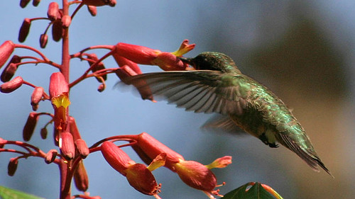 Hummingbird and Red Buckeye
