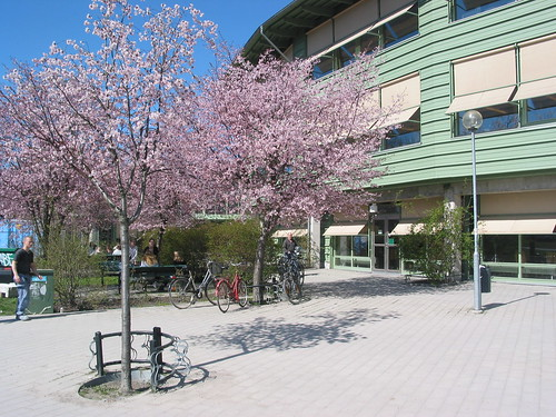 Sakura i Stockholms Universitet by 아침놀, on Flickr