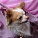 チワワ:Chihuahua_29
