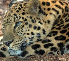leopardas dėmės