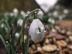 Raindrops and Snowdrops (algi321) Tags: raindrops snowdrops dof bokeh