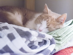 The perfect bed for a cat (Helen Lundberg Photography) Tags: cat sleeping pet cute fluffy towels animal