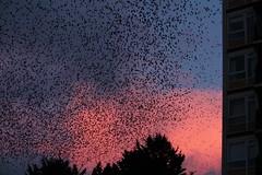 Winnal Starlings (suzy jh) Tags: starlings murmuration hampshire winnal winnalstarlings sky urban amazingsight february starlingmurmuration