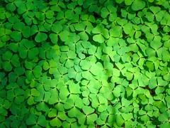 [フリー画像] [植物] [葉っぱ] [クローバー] [緑色/グリーン]       [フリー素材]