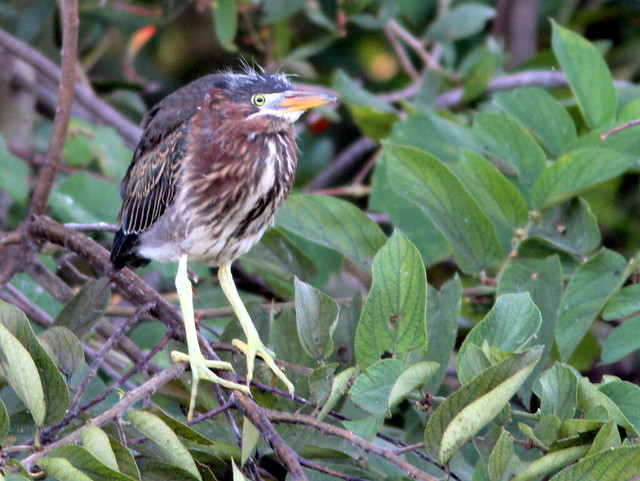 Green Heron fledgling 20110528