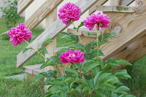 Peonies of Doom