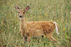""" A Curious Fawn "" (Wolverine09J ~ 1 Million + Views) Tags: nature wildlife westvirginia whitetaildeer wildlifeportraits naturallymagnificent wildlifeshots wildlifeaward holycreationsofnature anaturecanvasnothingmanmade deerfawnimages"