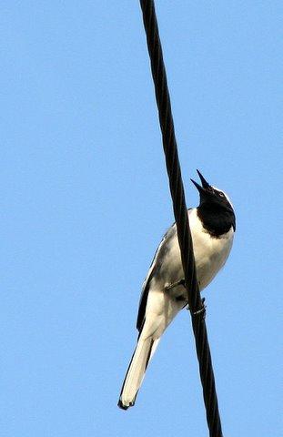 white-browed wagtail singing JP Nagar 101007