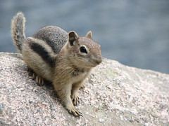 Golden-mantled Ground Squirrel (JohnThomson) Tags: golden squirrel ground chipmunk goldenmantledgroundsquirrel mantled