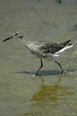 Willet, Bolsa Chica Ecological Reserve, Huntington Beach, CA (flyingibis) Tags: