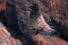 El condor pasa (LucaPicciau) Tags: wild bird peru america canon canyon per volo cruz andes ng condor arequipa pasa colca chivay peruvian cabanaconde vultur
