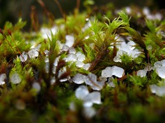 Hail On Moss (Starlisa) Tags: rain hail columbiariver 2007 dec20 sleet latourelfalls historichighway img0203