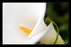 White Lily (skinr) Tags: sanfrancisco goldengatepark autumn white flower macro green nature unitedstates vine winding pollen strawberryhill skinr wwwjskinnerphotocom