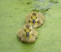 Goslings on Globe Pond