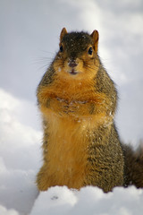 GSA 23 (Eric Wengert Photography) Tags: squirrel foxsquirrel sciurusniger