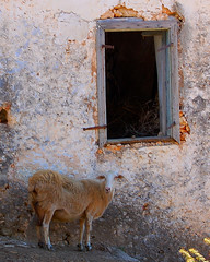 A Cretan sheep (Peace Correspondent) Tags: windows window animal d50 island greek nice nikon sheep farm whitemountains greece crete fv10 livestock armeni views500 5photosaday apokoronas armenoi distressedarchitecture