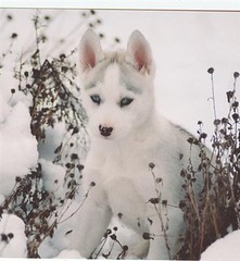 Luna 8 wks (sponng) Tags: dog pet pets cute dogs puppy puppies husky mush huskies aww siberian mushing cannine sibe sibes