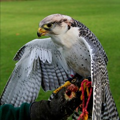 Falcon (Anthony Thomas [aka wabberjocky]) Tags: bird nature wales hawk cardiff feathers feather falcon prey welsh hawking falconry polaris fiatlux naturesfinest gyrfalcon 500x500 blueribbonwinner gyr supershot magicdonkey 50faves 10faves flickrsbest 25faves golddragon naturesquare anthonythomas platinumphoto avianexcellence ysplix excellentphotographerawards flickrphotoaward fiveflickrfavs betterthangood llovemypic natureselegantshots thebestpicturegallery wabberjocky bestofflickrsbest thewonderfulworldofbirds