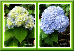Collage showing two flowering stages of Hydrangea macrophylla 'Endless Summer'