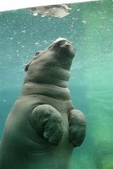 Hippo reflexion
