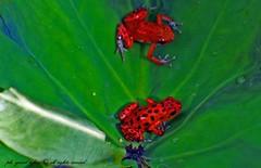 two red frog (yuval tzfira) Tags: red frog panama yuval    yuvaltzfiranature tzfiraredfrog