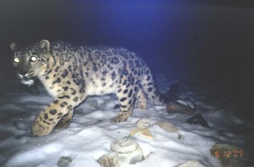 Search snow leopard porn agree