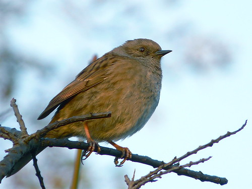 Dunnock by Globe Pond