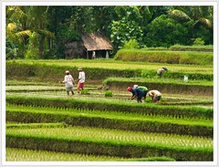 workers in the ricefields (Franc Le Blanc) Tags: bali indonesia asia ricefield ubud sawah aplusphoto superbmasterpiece incrediblenature