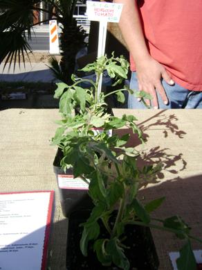 Dos Arbolitos, heriloom tomato plants