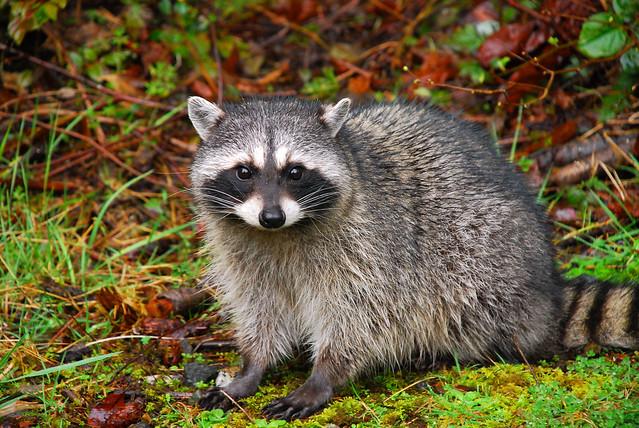 Bobby Raccoon